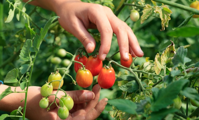 Photo_agroecologie-alimentation-tomates.jpg